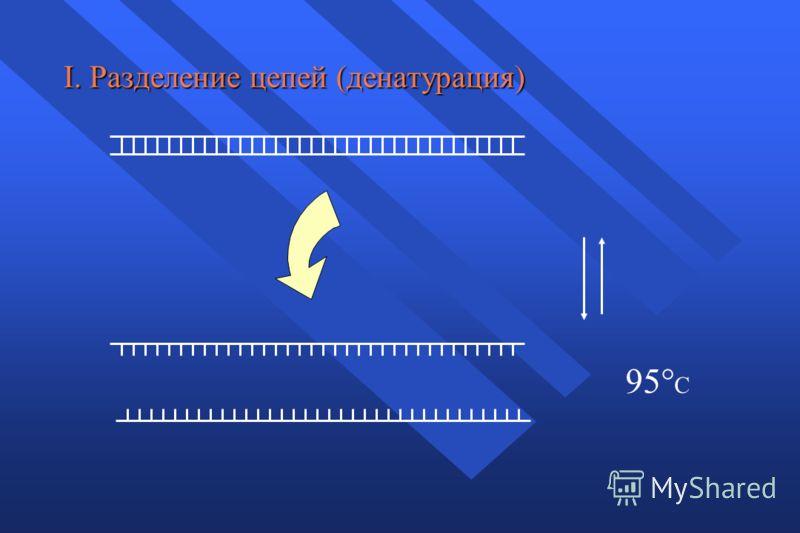 I. Разделение цепей (денатурация) 95° C