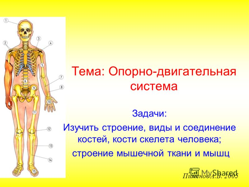 Тема: Опорно-двигательная система Задачи: Изучить строение, виды и соединение костей, кости скелета человека; строение мышечной ткани и мышц Пименов А.В. 2005