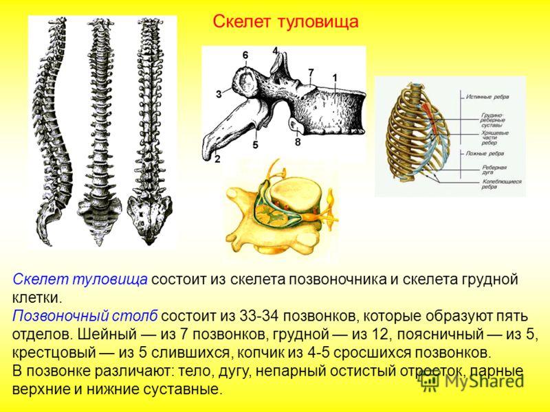 Скелет туловища состоит из скелета позвоночника и скелета грудной клетки. Позвоночный столб состоит из 33-34 позвонков, которые образуют пять отделов. Шейный из 7 позвонков, грудной из 12, поясничный из 5, крестцовый из 5 слившихся, копчик из 4-5 сро