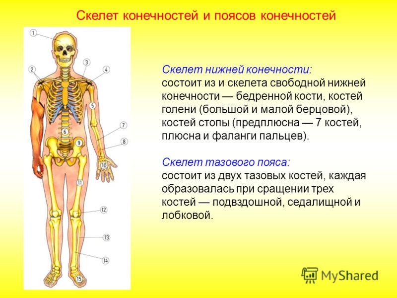 Скелет нижней конечности: состоит из и скелета свободной нижней конечности бедренной кости, костей голени (большой и малой берцовой), костей стопы (предплюсна 7 костей, плюсна и фаланги пальцев). Скелет тазового пояса: состоит из двух тазовых костей,