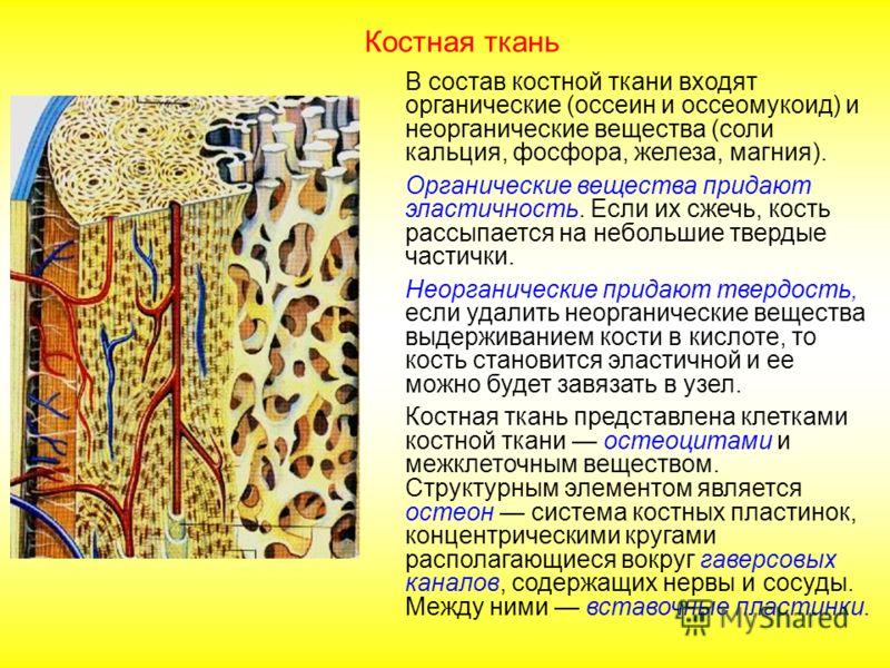 Костная ткань В состав костной ткани входят органические (оссеин и оссеомукоид) и неорганические вещества (соли кальция, фосфора, железа, магния). Органические вещества придают эластичность. Если их сжечь, кость рассыпается на небольшие твердые части
