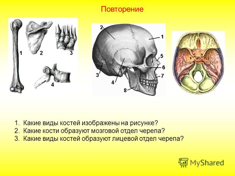 1.Какие виды костей изображены на рисунке? 2.Какие кости образуют мозговой отдел черепа? 3.Какие виды костей образуют лицевой отдел черепа? Повторение