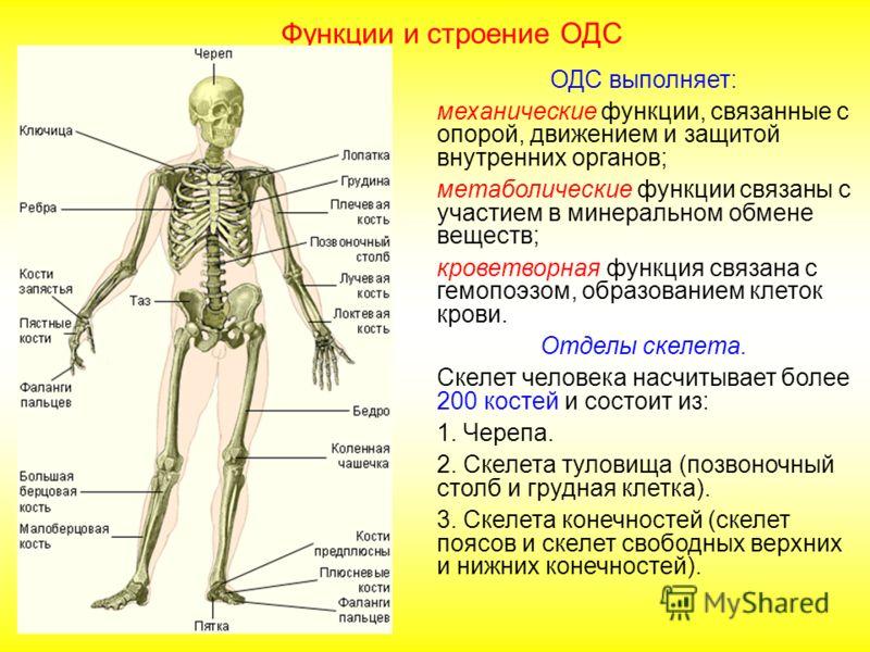 ОДС выполняет: механические функции, связанные с опорой, движением и защитой внутренних органов; метаболические функции связаны с участием в минеральном обмене веществ; кроветворная функция связана с гемопоэзом, образованием клеток крови. Отделы скел