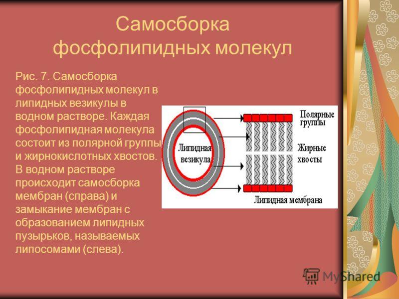 Самосборка фосфолипидных молекул Рис. 7. Самосборка фосфолипидных молекул в липидных везикулы в водном растворе. Каждая фосфолипидная молекула состоит из полярной группы и жирнокислотных хвостов. В водном растворе происходит самосборка мембран (справ