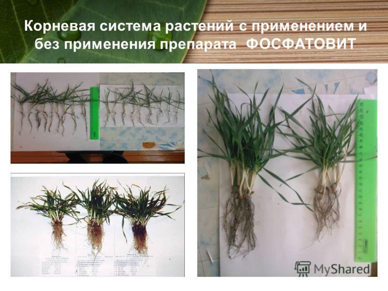 Корневая система растений с применением и без применения препарата ФОСФАТОВИТ