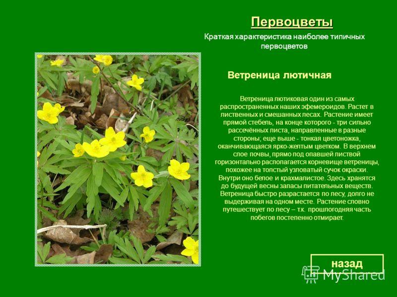 Первоцветы Ветреница лютичная назад Краткая характеристика наиболее типичных первоцветов Ветреница лютиковая один из самых распространенных наших эфемероидов. Растет в лиственных и смешанных лесах. Растение имеет прямой стебель, на конце которого - т
