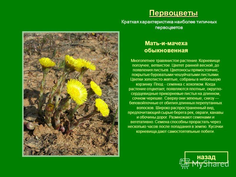 Первоцветы Мать-и-мачеха обыкновенная назад Краткая характеристика наиболее типичных первоцветов Многолетнее травянистое растение. Корневище ползучее, ветвистое. Цветет ранней весной, до появления листьев. Цветоносы прямостоячие, покрытые буроватыми