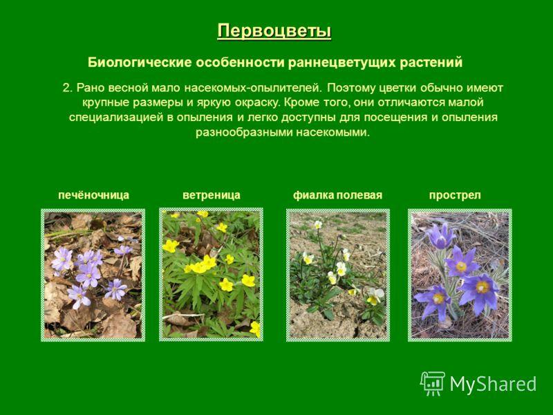 Первоцветы Биологические особенности раннецветущих растений печёночницаветреницафиалка полеваяпрострел 2. Рано весной мало насекомых-опылителей. Поэтому цветки обычно имеют крупные размеры и яркую окраску. Кроме того, они отличаются малой специализац