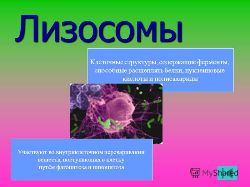 Лизосомы Клеточные структуры, содержащие ферменты, способные расщеплять белки, нуклеиновые кислоты и полисахариды Участвуют во внутриклеточном переваривании веществ, поступающих в клетку путём фагоцитоза и пиноцитоза