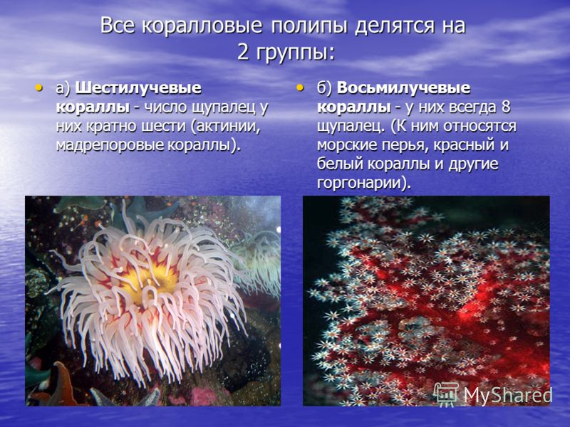 Все коралловые полипы делятся на 2 группы: а) Шестилучевые кораллы - число щупалец у них кратно шести (актинии, мадрепоровые кораллы). а) Шестилучевые кораллы - число щупалец у них кратно шести (актинии, мадрепоровые кораллы). б) Восьмилучевые коралл