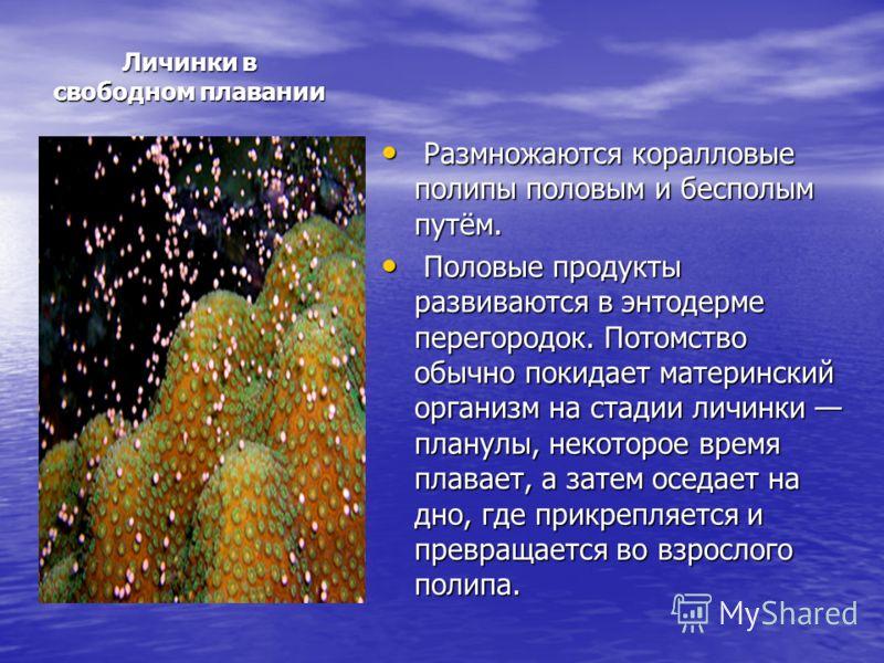 Личинки в свободном плавании Размножаются коралловые полипы половым и бесполым путём. Размножаются коралловые полипы половым и бесполым путём. Половые продукты развиваются в энтодерме перегородок. Потомство обычно покидает материнский организм на ста