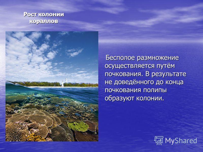 Рост колонии кораллов Бесполое размножение осуществляется путём почкования. В результате не доведённого до конца почкования полипы образуют колонии. Бесполое размножение осуществляется путём почкования. В результате не доведённого до конца почкования
