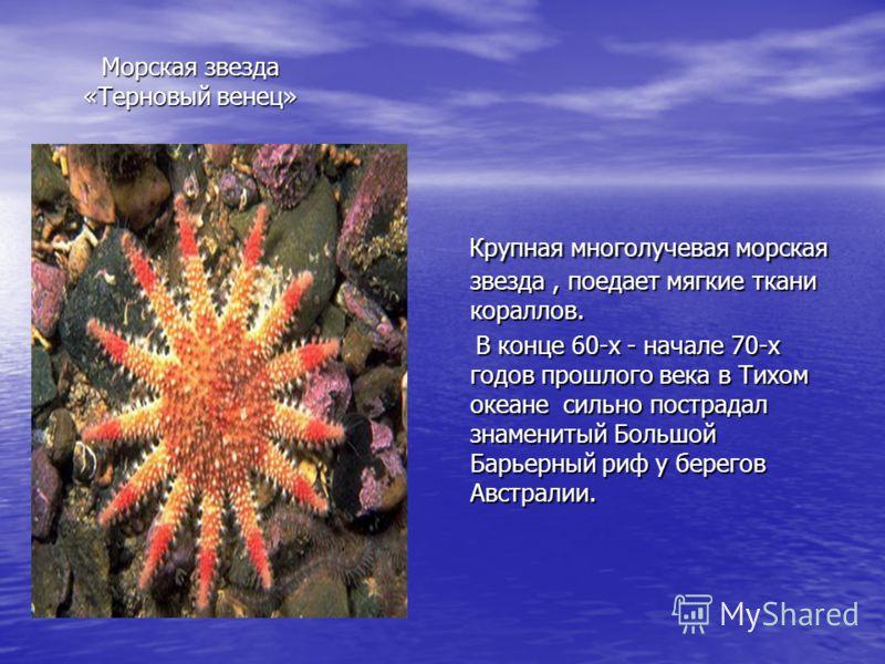 Крупная многолучевая морская звезда, поедает мягкие ткани кораллов. Крупная многолучевая морская звезда, поедает мягкие ткани кораллов. В конце 60-х - начале 70-х годов прошлого века в Тихом океане сильно пострадал знаменитый Большой Барьерный риф у