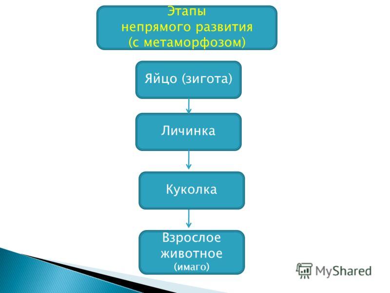 Этапы непрямого развития (с метаморфозом) Яйцо (зигота) Личинка Взрослое животное (имаго) Куколка