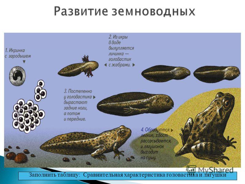 РАЗВИТИЕ Развитие лягушки происходит с превращением. Заполнить таблицу: Сравнительная характеристика головастика и лягушки