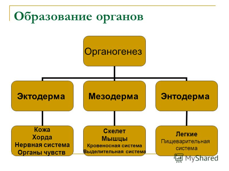 Образование органов Органогенез Эктодерма Кожа Хорда Нервная система Органы чувств Мезодерма Скелет Мышцы Кровеносная система Выделительная система Энтодерма Легкие Пищеварительная система