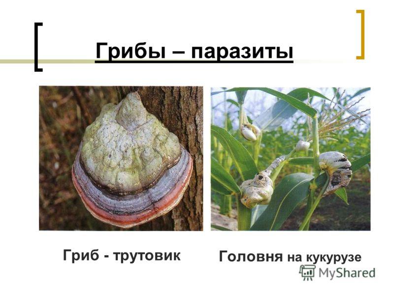 Грибы – паразиты Гриб - трутовик Головня на кукурузе