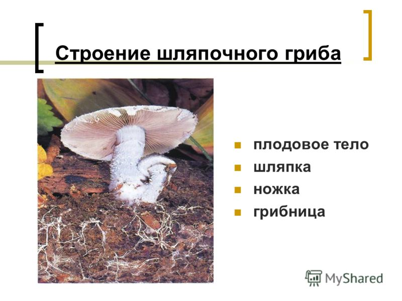 Строение шляпочного гриба плодовое тело шляпка ножка грибница
