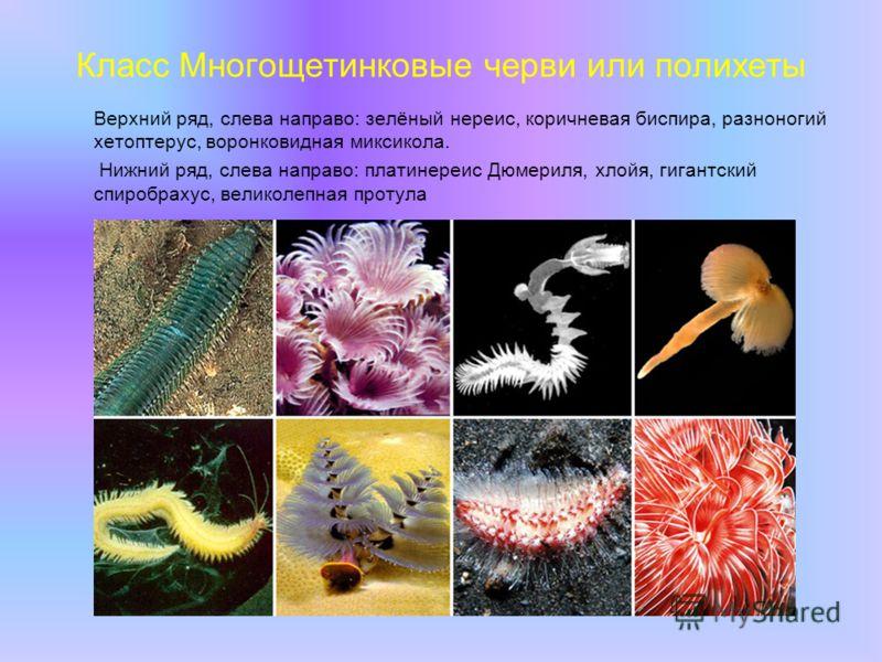 Класс Многощетинковые черви или полихеты Верхний ряд, слева направо: зелёный нереис, коричневая биспира, разноногий хетоптерус, воронковидная миксикола. Нижний ряд, слева направо: платинереис Дюмериля, хлойя, гигантский спиробрахус, великолепная прот