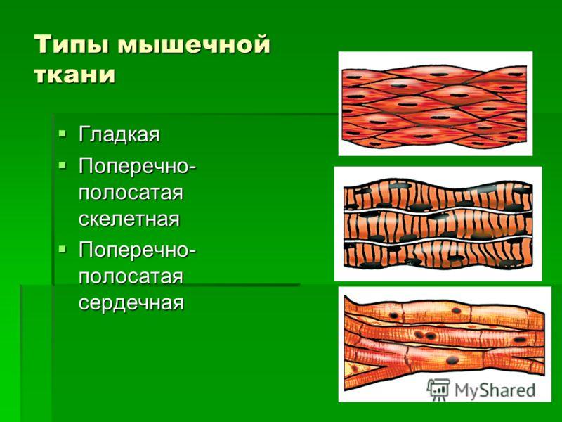 Типы мышечной ткани Гладкая Гладкая Поперечно- полосатая скелетная Поперечно- полосатая скелетная Поперечно- полосатая сердечная Поперечно- полосатая сердечная