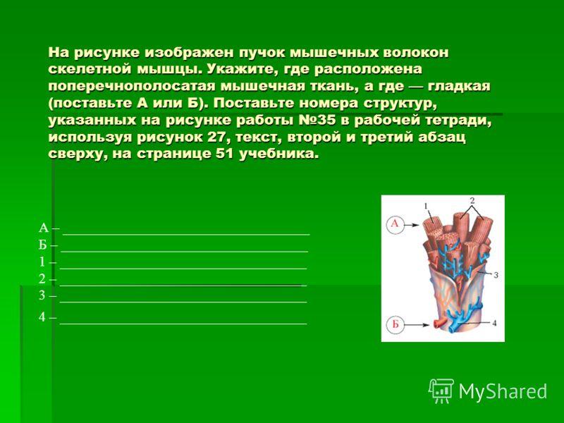 На рисунке изображен пучок мышечных волокон скелетной мышцы. Укажите, где расположена поперечнополосатая мышечная ткань, а где гладкая (поставьте А или Б). Поставьте номера структур, указанных на рисунке работы 35 в рабочей тетради, используя рисунок