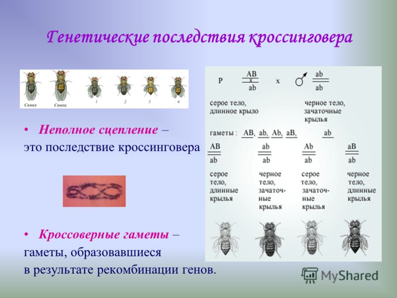 Группы сцепления Сцепленные гены – гены, расположенные в одной хромосоме и наследуемые совместно. Количество генов в различных группах сцепления (то есть в различных хромосомах) может отличаться друг от друга. Число групп сцепления равно числу хромос