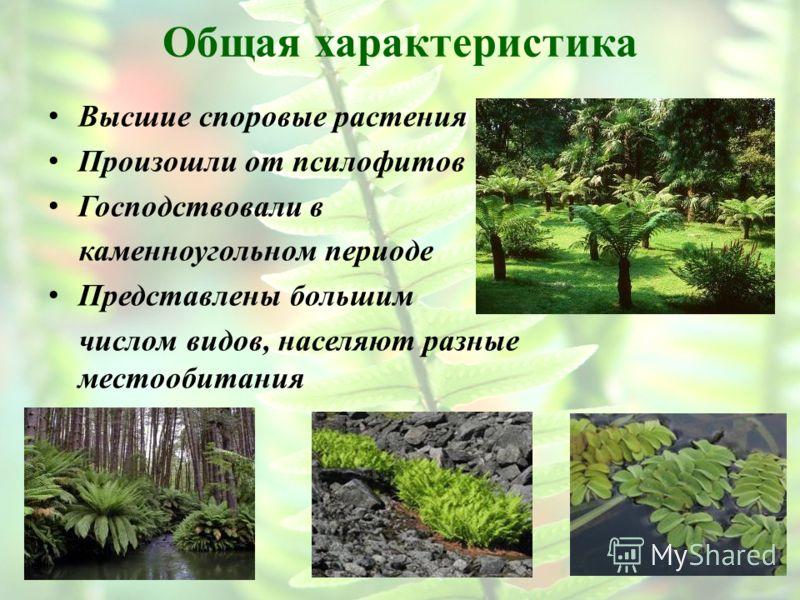 Общая характеристика Высшие споровые растения Произошли от псилофитов Господствовали в каменноугольном периоде Представлены большим числом видов, населяют разные местообитания
