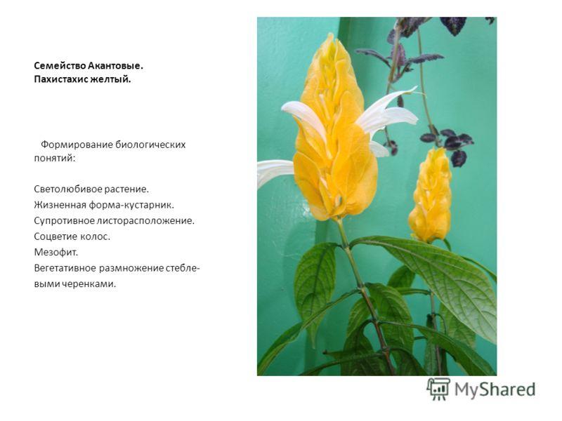 Семейство Акантовые. Пахистахис желтый. Формирование биологических понятий: Светолюбивое растение. Жизненная форма-кустарник. Супротивное листорасположение. Соцветие колос. Мезофит. Вегетативное размножение стебле- выми черенками.