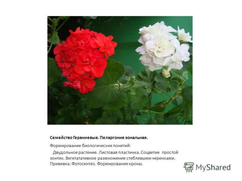 Семейство Гераниевые. Пеларгония зональная. Формирование биологических понятий: Двудольное растение. Листовая пластинка. Соцветие простой зонтик. Вегетатативное размножение стеблевыми черенками. Прививка. Фотосинтез. Формирование кроны.