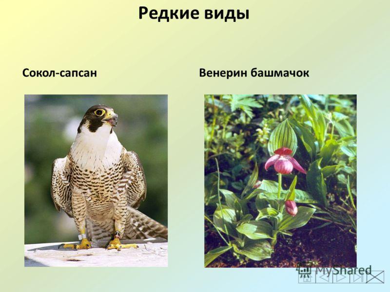 Редкие виды Сокол-сапсанВенерин башмачок