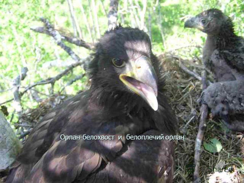 Орлан-белохвост и белоплечий орлан