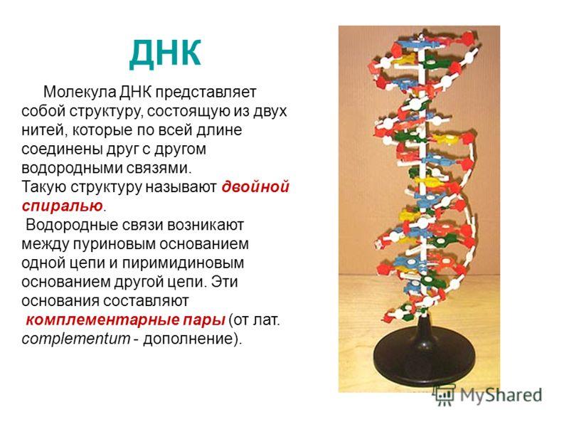 ДНК Молекула ДНК представляет собой структуру, состоящую из двух нитей, которые по всей длине соединены друг с другом водородными связями. Такую структуру называют двойной спиралью. Водородные связи возникают между пуриновым основанием одной цепи и п