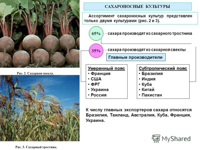 Рис. 2. Сахарная свекла. Рис. 3. Сахарный тростник. САХАРОНОСНЫЕ КУЛЬТУРЫ Ассортимент сахароносных культур представлен только двумя культурами (рис. 2 и 3). 65% - сахара производят из сахарного тростника 35% - сахара производят из сахарной свеклы Уме