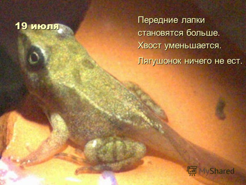 19 июля Передние лапки становятся больше. Хвост уменьшается. Лягушонок ничего не ест.
