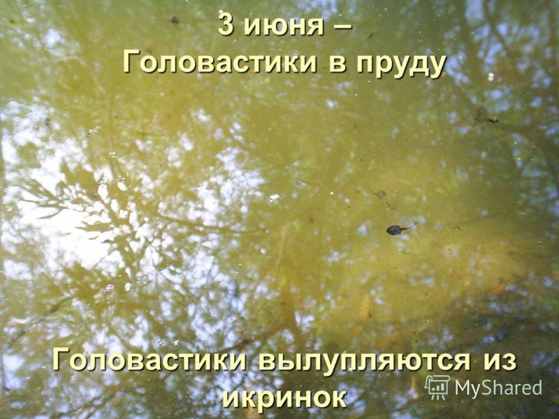 3 июня – Головастики в пруду Головастики вылупляются из икринок