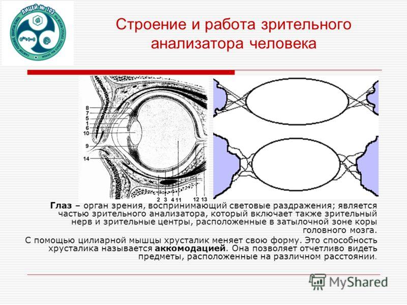 Строение и работа зрительного анализатора человека Глаз – орган зрения, воспринимающий световые раздражения; является частью зрительного анализатора, который включает также зрительный нерв и зрительные центры, расположенные в затылочной зоне коры гол