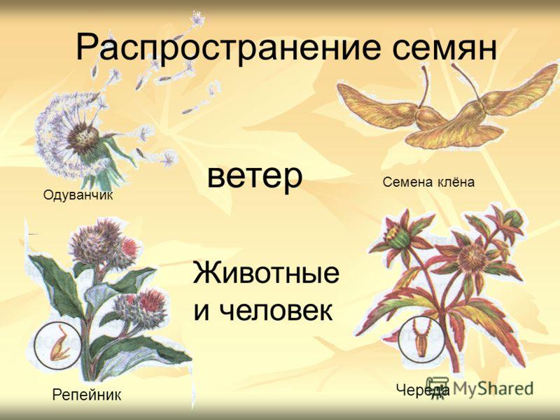 Животные и человек Распространение семян Одуванчик Семена клёна Репейник Череда ветер