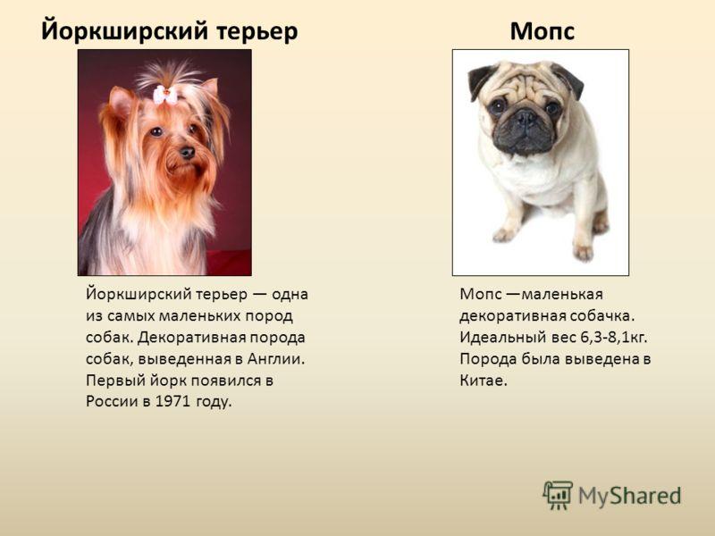 Йоркширский терьер Мопс Йоркширский терьер одна из самых маленьких пород собак. Декоративная порода собак, выведенная в Англии. Первый йорк появился в России в 1971 году. Мопс маленькая декоративная собачка. Идеальный вес 6,3-8,1кг. Порода была вывед