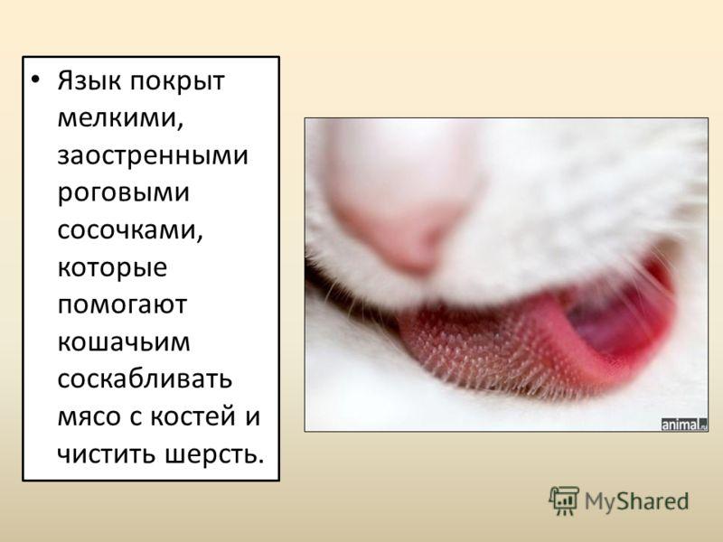 Язык покрыт мелкими, заостренными роговыми сосочками, которые помогают кошачьим соскабливать мясо с костей и чистить шерсть.