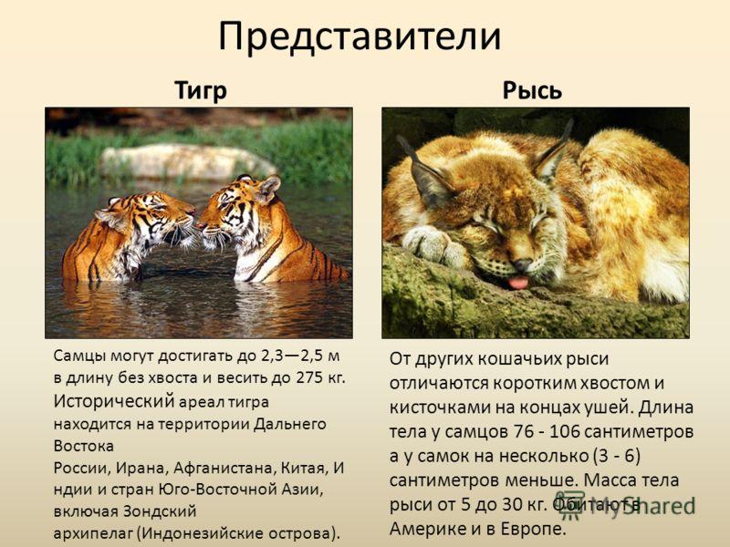 Представители ТигрРысь Самцы могут достигать до 2,32,5 м в длину без хвоста и весить до 275 кг. Исторический ареал тигра находится на территории Дальнего Востока России, Ирана, Афганистана, Китая, И ндии и стран Юго-Восточной Азии, включая Зондский а