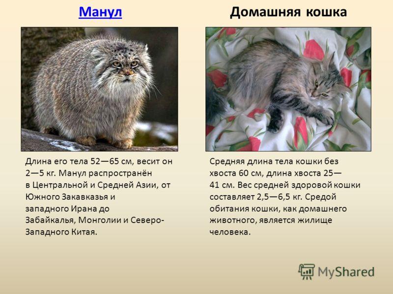 МанулДомашняя кошка Длина его тела 5265 см, весит он 25 кг. Манул распространён в Центральной и Средней Азии, от Южного Закавказья и западного Ирана до Забайкалья, Монголии и Северо- Западного Китая. Средняя длина тела кошки без хвоста 60 см, длина х