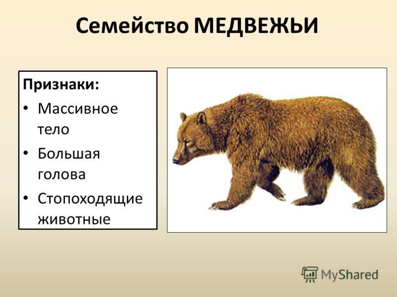 Семейство МЕДВЕЖЬИ Признаки: Массивное тело Большая голова Стопоходящие животные