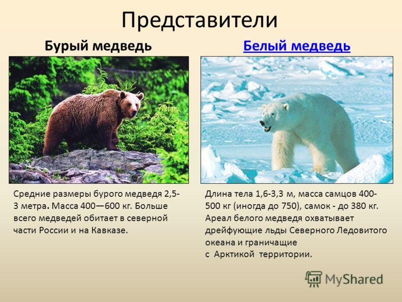 Представители Бурый медведьБелый медведь Средние размеры бурого медведя 2,5- 3 метра. Масса 400600 кг. Больше всего медведей обитает в северной части России и на Кавказе. Длина тела 1,6-3,3 м, масса самцов 400- 500 кг (иногда до 750), самок - до 380