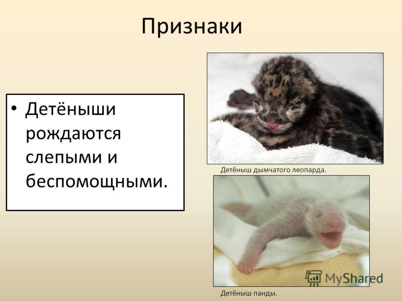 Признаки Детёныши рождаются слепыми и беспомощными. Детёныш дымчатого леопарда. Детёныш панды.