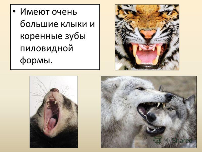 Имеют очень большие клыки и коренные зубы пиловидной формы.