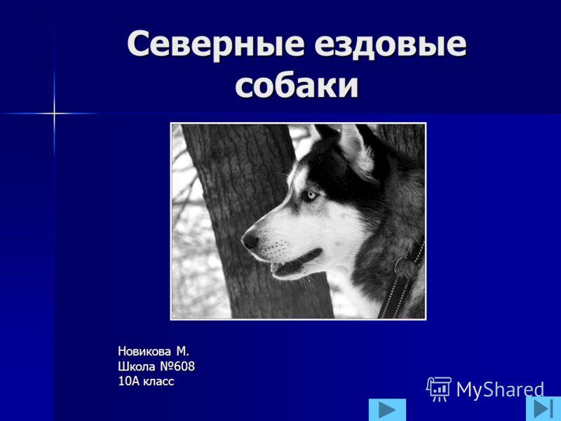 Северные ездовые собаки Новикова М. Школа 608 10А класс