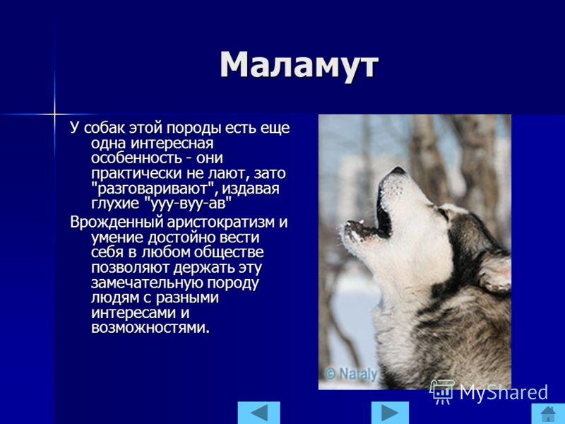 Маламут У собак этой породы есть еще одна интересная особенность - они практически не лают, зато