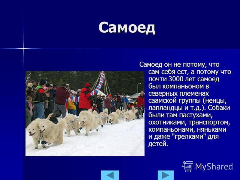 Самоед Самоед он не потому, что сам себя ест, а потому что почти 3000 лет самоед был компаньоном в северных племенах саамской группы (ненцы, лапландцы и т.д.). Собаки были там пастухами, охотниками, транспортом, компаньонами, няньками и даже