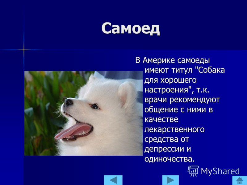 Самоед В Америке самоеды имеют титул Собака для хорошего настроения, т.к. врачи рекомендуют общение с ними в качестве лекарственного средства от депрессии и одиночества.