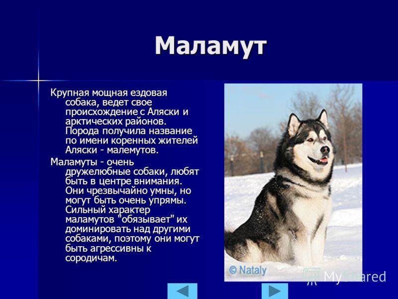 Маламут Крупная мощная ездовая собака, ведет свое происхождение с Аляски и арктических районов. Порода получила название по имени коренных жителей Аляски - малемутов. Маламуты - очень дружелюбные собаки, любят быть в центре внимания. Они чрезвычайно